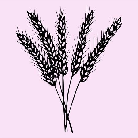 wheat illustration: Spikelet, grains of wheat, doodle style, sketch illustration