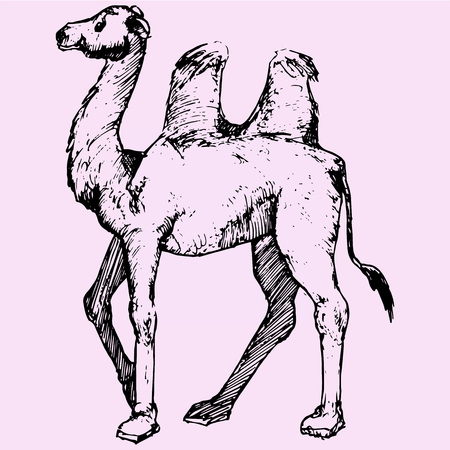 Bactrian camel, two-humped