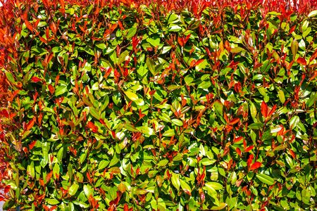 Texture of red and green leaves. Hedge close-up. Background of leaves. Beautiful bush.