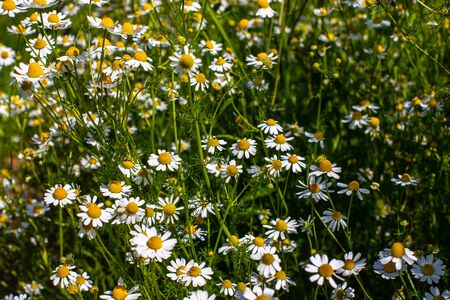 Bush flowers daisies. Chamomile closeup on a blurred field background. Summer meadow on which flowers grow close-up.