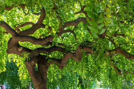 Green branchy tree. Curved trunk and curved branches. Juicy greens giving a shadow. Texture of a green branchy tree close up Stock Photo