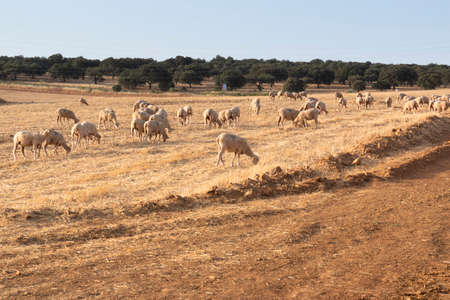Dry cereal field ready for collection, in southern Andalusia Spain.