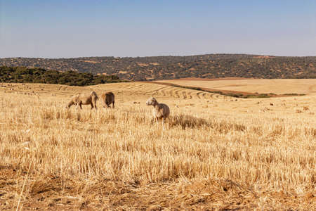 sheep grazing cereals on a farm at sunset in southern Andalusia, Spain Stock Photo