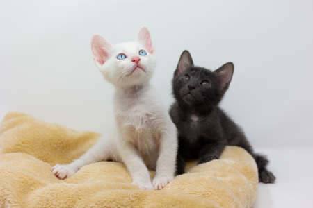 White kittens with blue eyes and black kittens khao manee playing with their siblings