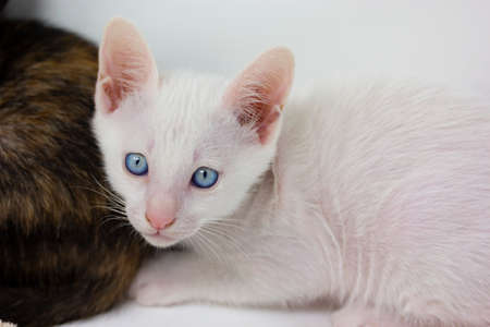 Multicolored kittens Khao Manee breed with white background, looks