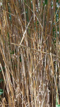 wild reed, in a natural park near barcelona in spain