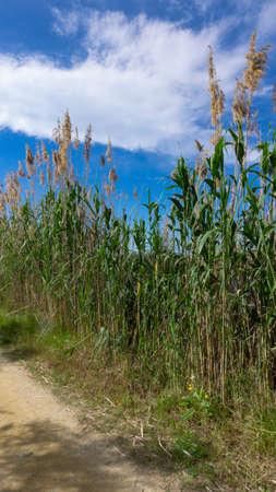 wild reed, in a natural park near barcelona in spain Reklamní fotografie
