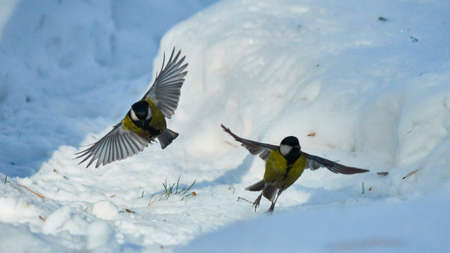 tomtit: Tomtit is flying. Birds. Winter, Siberia. Russia.