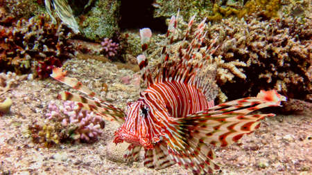 Big lionfish in the Red sea. Eilat.