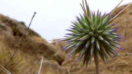Big blue bur in the desert. Israel