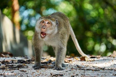 sitting on the ground: Monkey looks at you. Koh Pangan, Thailand. Stock Photo