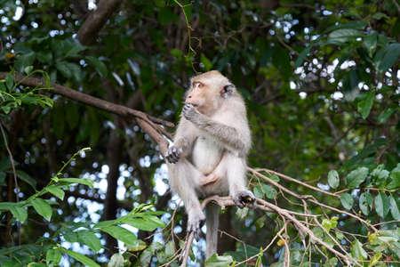 sitting on the ground: Monkey sits on a tree. Koh Pangan, Thailand.