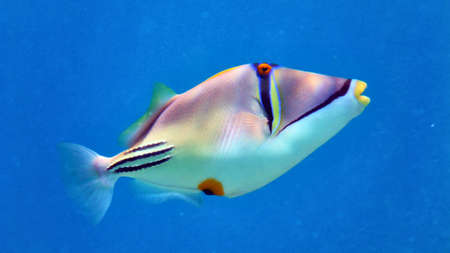 Picasso fish in Red sea, Eilat, Israel.