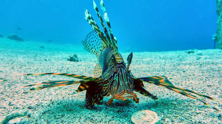 Lion fish in Red sea, Eilat, Israel.