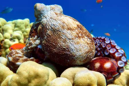 Big octopus in Red sea, Eilat, Israel.