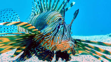 Lion fish in Red sea, Eilat, Israel. Stock Photo - 77539100