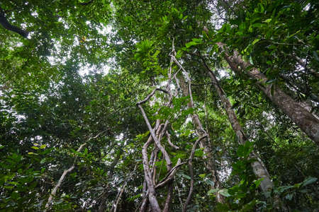 Lot of vines in Tropical forest. Koh Phangan. Thailand Stock Photo