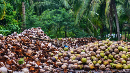 Bunch of coconuts on Koh Phangan. Thailand. Stock Photo