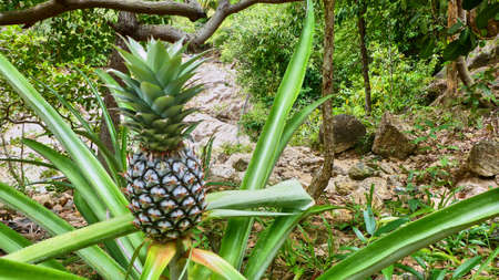 Young pineapple grows. Koh Phangan. Thailand Stock Photo