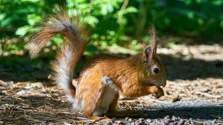 Squirrel sits on a ground. Summer int Russia.