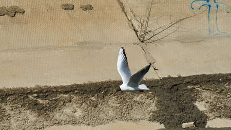 river: A gull flies by the river. Tomsk. Russia.