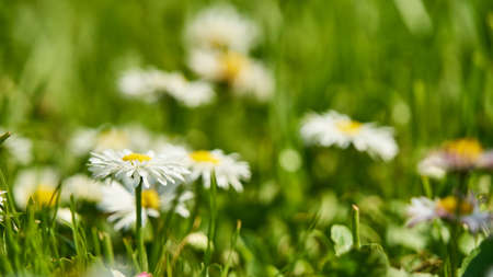 Chamomile on the clearing. Summer in Siberia