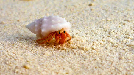 a close-up of the little hermit crab, Maldives 写真素材