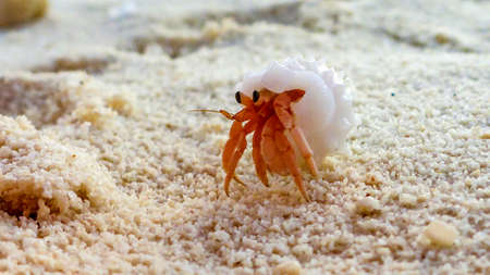 a close-up of the little hermit crab, Maldives Stok Fotoğraf