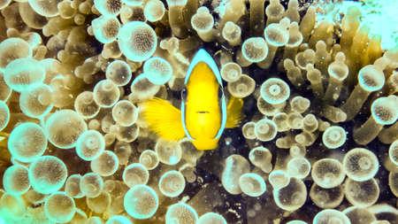 Nemo, clownfish over an anemone Maldives