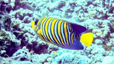 Regal angelfish in the coral reef, Maldives Stock Photo