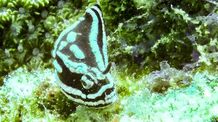 Black and white (Phyllida coelestis) Nudibranch in Maldives
