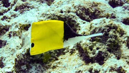 Yellow Longnose Butterfly Fish in Maldives