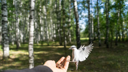 Flying Nuthatch (Sitta europea) with open wings. Tomsk, Siberia