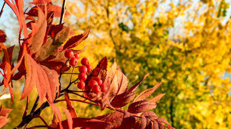 Red leaves and berries of rowan. Autumn in Siberia. Tomsk