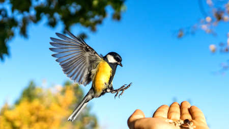 Tomtit is flying, autumn in Siberia, Tomsk
