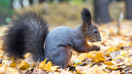 Close up Red squirrel eating nuts in the autumn forest. Tomsk, Siberia