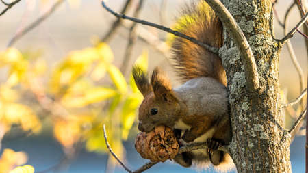 Red squirrel sits on the tree with a pine cone in autumn forest, Tomsk, Siberia