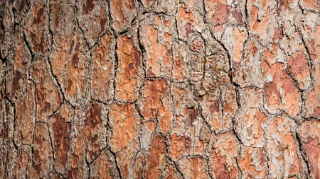 Close-up Pine-tree bark texture background, Arboretum in Sukhum, Abkhazia Zdjęcie Seryjne