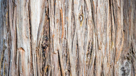 Close-up Pine-tree bark texture background, Arboretum in Sukhum, Abkhazia 版權商用圖片