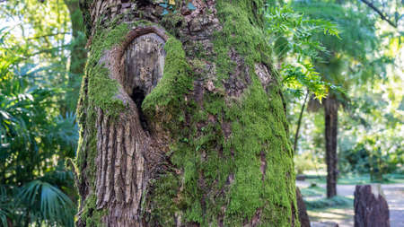 Mossy trunk of tree in forest in Arboretum of Sukhum, Abkhazia