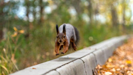 Jumping red squirrel in the autumn forest, Tomsk, Siberia