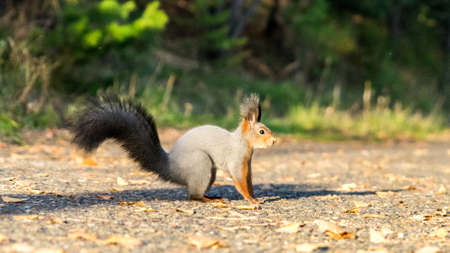 Red squirrel in the autumn forest, Tomsk, Siberia