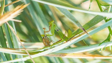 Female mantis is having lunch after mating. Sochi Reklamní fotografie