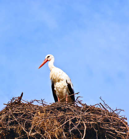 Stork in its nest over a clear blue backround photo