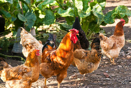 Cock and hens walking on rural yard Stock Photo - 12314174