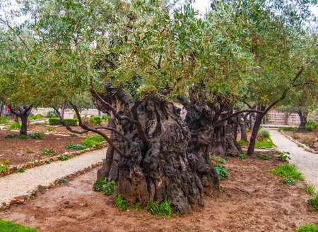 Olives Jerusalem-Garden of Gethsemane, Israel photo