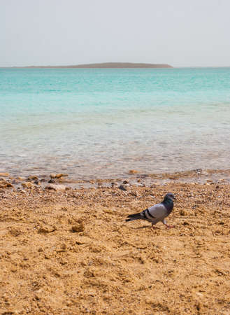 Pigeon on the bank of the Dead Sea, Israel Stock Photo - 13108498