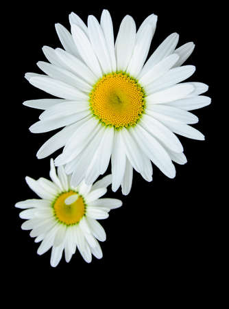 Two daisy bloom isolated on black background Stock Photo - 13965114