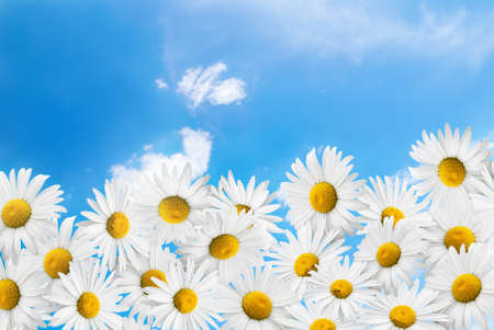 camomiles on a blue sky and white clouds background  Stock Photo - 14035714