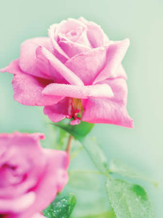 Beautiful pink Rose with drops of dew close up photo